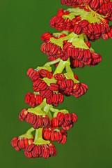 Poplar flower (Populus nigra)