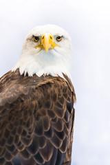 American Eagle or Bald Eagle