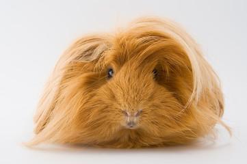 Guinea pig breed Sheltie..