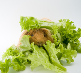 Guinea pig breed Sheltie and lettuce..