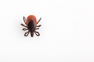Tick - parasitic arachnid blood
