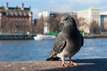 Pigeon in front of river Thames