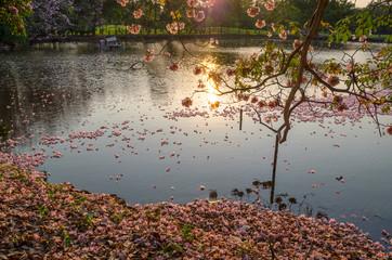 Pink trumpet tree and lake at sunset