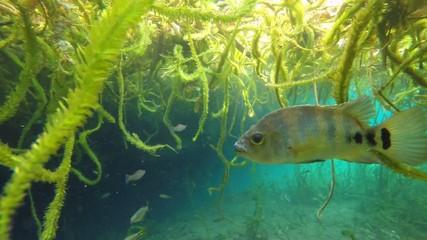 Maya cichlid underwater