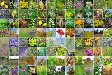 Wild-growing herbs of Siberia