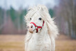 Portrait of white shetland pony with long mane - 79718463