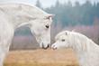 Leinwandbild Motiv Portrait of white horse and white shetland pony