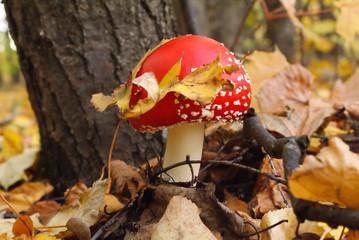 the fly agaric mushroom.