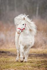 Little white shetland pony running trot
