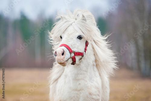 Portrait of white shetland pony with long mane - 79718463