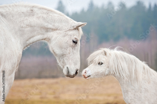 Papiers peints Equitation Portrait of white horse and white shetland pony
