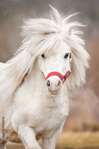 Portrait of white shetland pony with long mane - 79718470