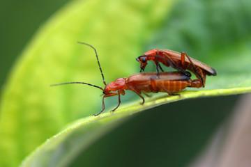 Käfer - Paarung
