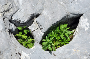 Plants in limestone hole
