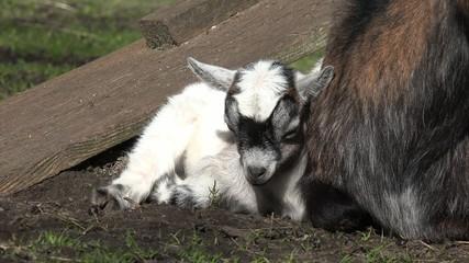 Weißes Zicklein schläft auf der Wiese