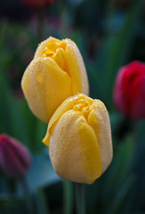Yellow tulips with dew drops