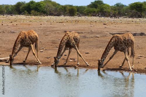 Papiers peints Girafe Giraffes