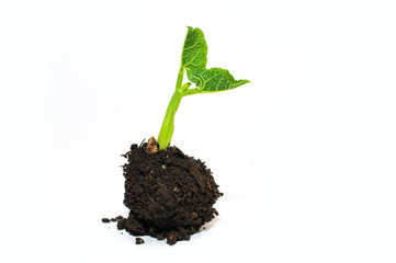 The plant grows from a pile of soil on a white background