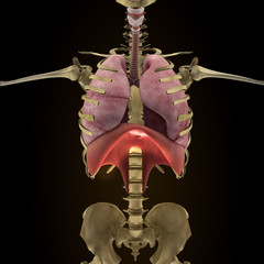 Anatomy of human organs in x-ray view