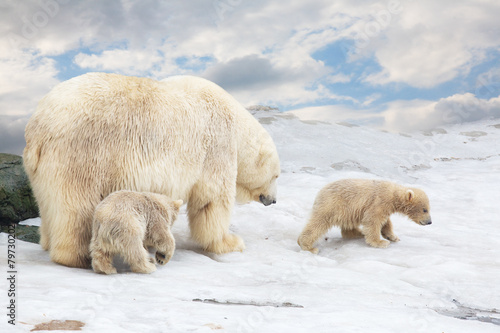 Fotobehang Ijsbeer white polar she-bear with two bear cubs goes on snow