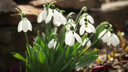 macro spring snowdrops on the ground