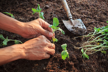 human hand planting young sunflowers plant on dirt soil use for