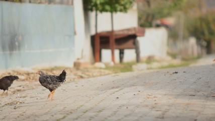 chicken in the village