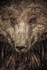 Big brown bear close up portrait