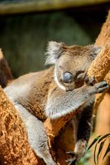 Australian koala bear is sleeping on the tree