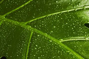 Fensterblatt mit Wassertropfen, Bildausschnitt 2