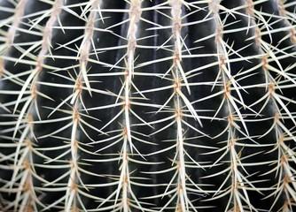 huge cactus called Golden Barrel Cactus