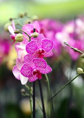 magenta orchid flower on sale from florist