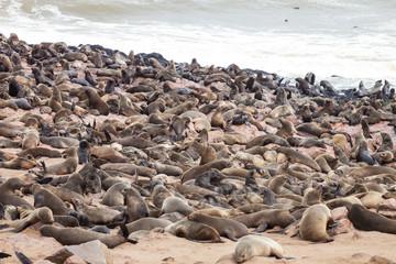 huge colonies, Brown fur seal, Arctocephalus pusillus