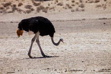 male, looking for food, Ostrich