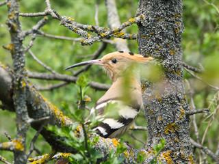 hoopoe,bird