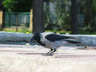 magpie,bird