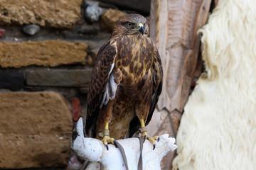 falcon,bird
