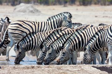 herd Damara zebra,  at waterhole,