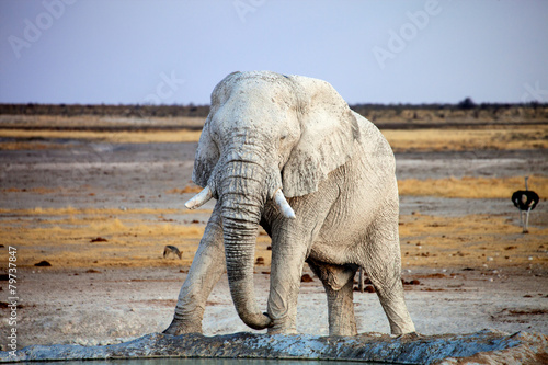 Canvas Olifant white-colored African elephant, from travertine soil, Namibia