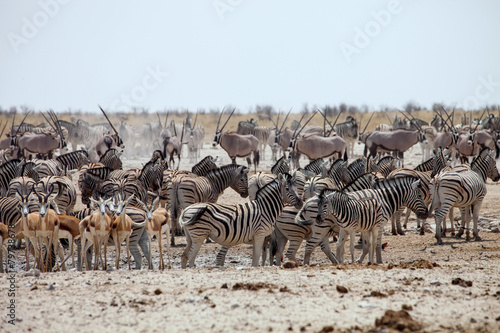 Canvas Zebra enormous number of animals at the waterhole in the Etosha