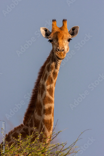 Foto op Plexiglas Giraffe Portrait of a South African giraffe