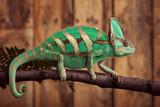 Chameleon on wooden backround