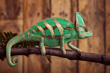 Chameleon on wooden backround