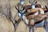 two males Springbok