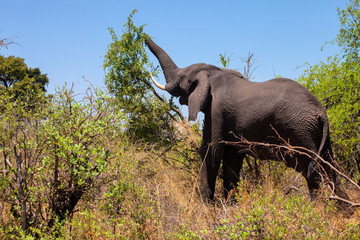 African elephant,  she tears off the leaves of bushes, Namibia