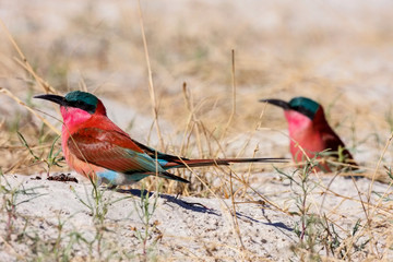 Southern Carmine Bee-eater, Merops nubicoides,