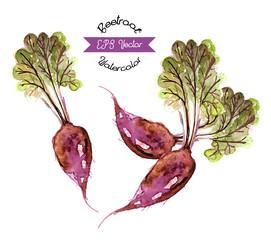Organic beetroot, watercolor illustration
