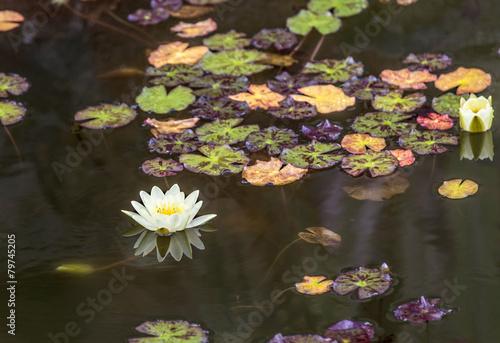 Plexiglas Water planten blooming water lily floating in the lake