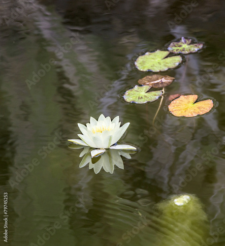 Fotobehang Water planten blooming water lily floating in the lake