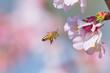 Leinwanddruck Bild - Cherry Blossom and Honeybee